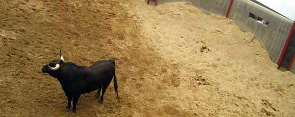 Un veterinario evalúa desde el burladero un toro en el corral de reconocimiento de la Maestranza. (FOTO: Sevilla Taurina)