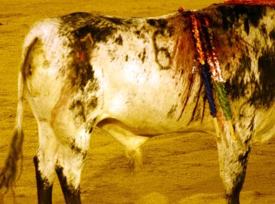Uno de los erales salió al ruedo con una herida en los cuartos traseros. (FOTO: Javier Martínez)