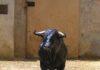 Dos veterinarios evalúan a un toro en el corral de reconocimiento.