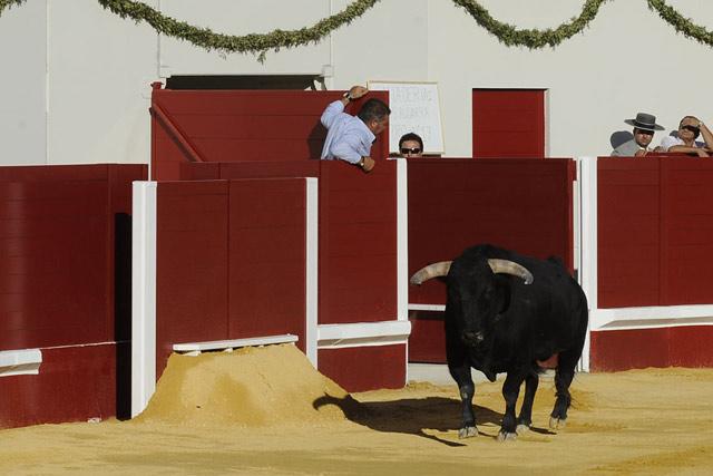 Primer toro en la arena del nuevo coso de Utrera. (FOTO: Matito)