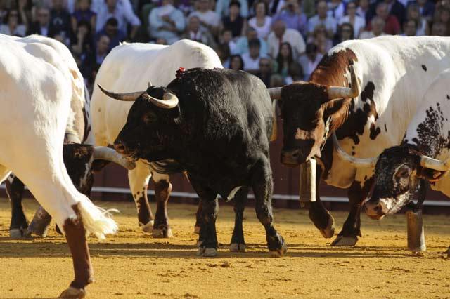Hasta tres sobreros se lidiaron. Inválidos, pobre presentación y pitones estallados. (FOTO: Sevilla Taurina)