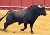 Toro de Conde de la Maza.