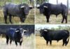 Los ocho toros de la ganadería de Victorino Martín apartados para la Feria de Abril. (FOTO: Jaime Serrano)