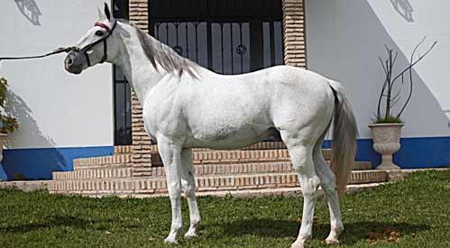 El caballo 'Distinto', de la cuadra del sevillano Diego Ventura.