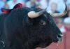 El famoso toro número 91 de Zalduendo lidiado en la Maestranza, que fue rechazado en Bilbao al despitorrarse en los corrales el pitón derecho. Un mes después llegó 'limpio' a la Maestranza aunque ostensiblemente más corto que el izquierdo; fue aprobado como apto. (FOTO: Matito)
