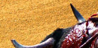 Lamentable imagen, con un toro con el pitón izquierdo completamente destrozado, lleno de lascas y ensangrentado; y no derrotó contra los burladeros. (FOTO: Sevilla Taurina)