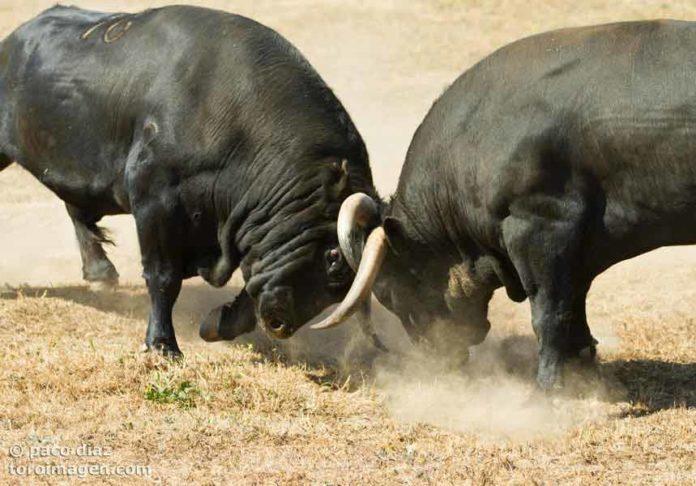 Dos toros apartados para Sevilla se embisten en fiera pelea. (FOTO: Pao Díaz/Toroimagen)