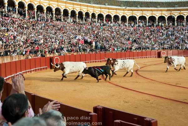 El toro 'Arrojado' regresa a los corrales tras ser indultado. (FOTO: Paco Díaz)