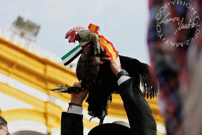 Un gallo para Talavante.