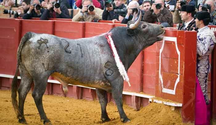 Un toro de Miura levantando sus característicos alargados cuellos.