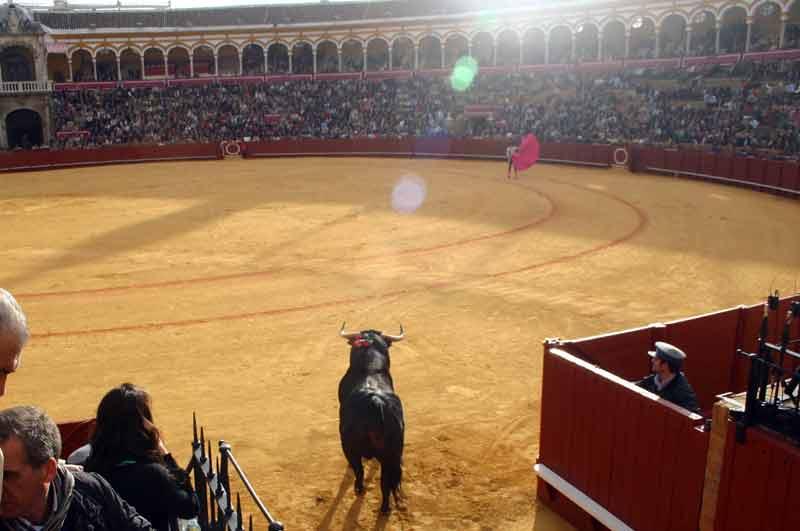 El toro irrumpe sobre el albrero de la plaza de la Real Maestranza.