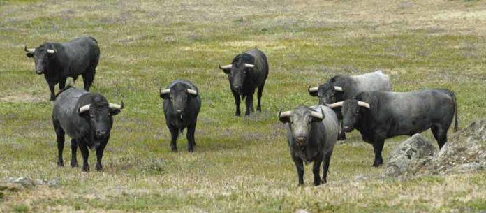 Los siete toros que Victorino Martín tenía preparados en principio para Sevilla. (FOTO: José Luis Ballester/badajoztaurina.com)