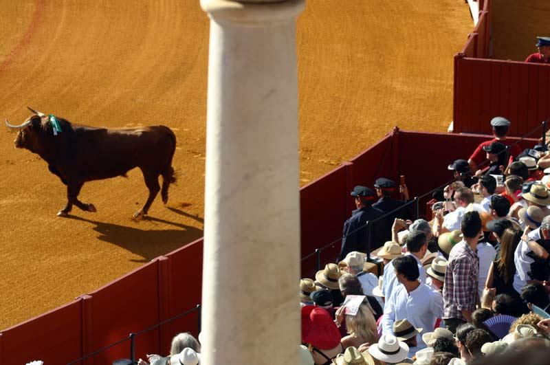 El toro sale de toriles al ruedo mientras los espectadores intentan acceder a sus localidades.