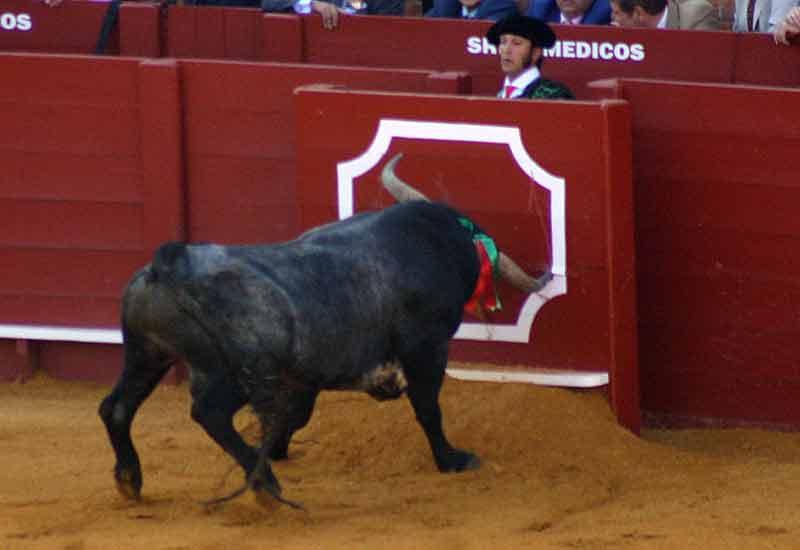 Un toro de Miura se queda literamente 'clavado' en el burladero.