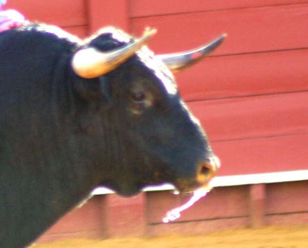 Toro lidiado en la segunda de San Miguel.