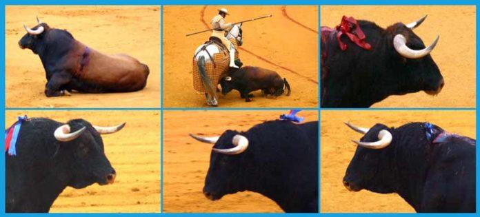 Varias imágenes de la pobre presentación de los toros de Pereda lidiados ayer en Sevilla con el visto bueno de la presidenta y sus veterinarios.