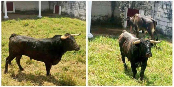 Los seis toros de Miura, en los corrales de la plaza venezolana de San Cristóbal.