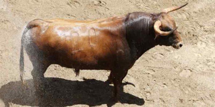 Uno de los cuatro toros de Daniel Ruiz que se han aprobado, y que se lidiará en tercer lugar.