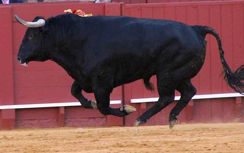 Un toro volador, con las cuatro patas al aire.