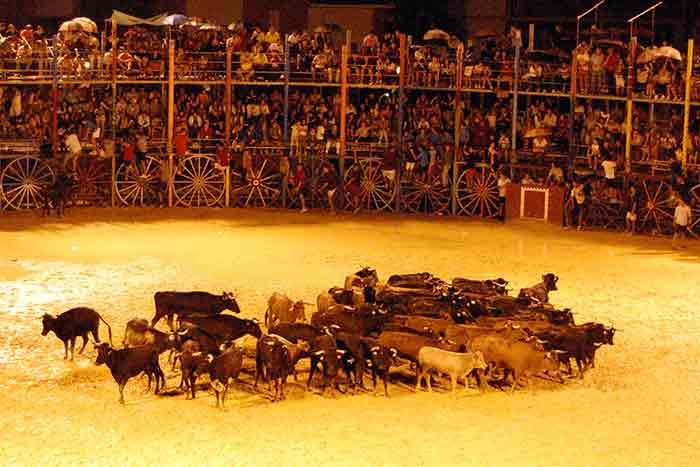 Las vacas para las sueltas y capeas populares tras el festejo.