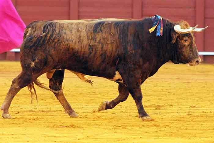 El quinto, con el hierro de Cortijo de la Sierra.