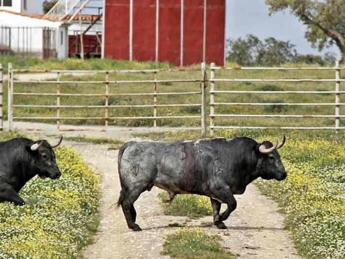 El toro indultado, en libertad.
