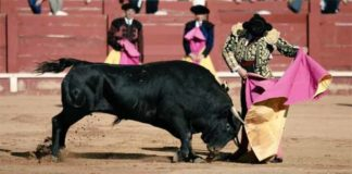 Morante toreando de capote esta tarde en Aranjuez.