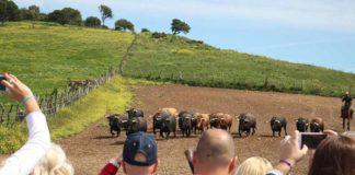 La visita de aficionados sevillanos a la ganadería de Cuvillo. (FOTO: Toromedia)